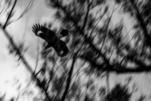Currawong Bird Photo Art Work