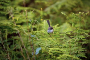 Northern New South Wales photographer produced limited edition Photograph of Fairy Wren Bird