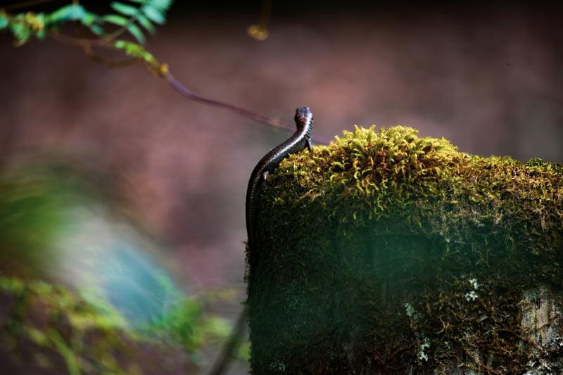 Skink, lizard, moss print